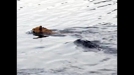 Youtube: Mira como escapa un león de las fauces de un cocodrilo