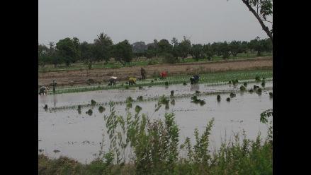 Factor climático reducirá en 1% la producción de arroz en La Libertad