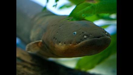 YouTube: Anguilas eléctricas cazan sus presas a control remoto