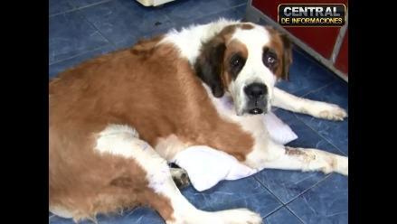 Perro usado como ´burrier´ puede salvarse, según veterinaria