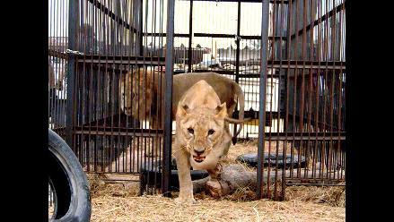 Un hombre grave tras entrar en recinto de leones en Zoo de Barcelona
