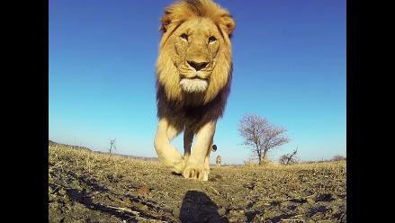 GoPro: un león se graba a sí mismo en medio del desierto