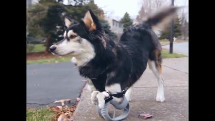 YouTube: Derby, el perro que corre gracias a una prótesis 3D