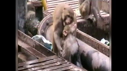 YouTube: un mono salva la vida de su amigo en vías del tren