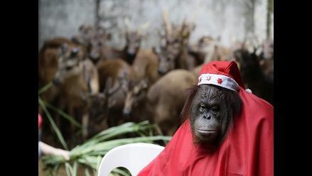 Justicia argentina reconoce a un orangután como ´sujeto no humano´