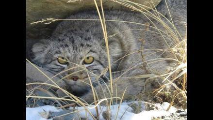 Un gato salvaje es fotografiado por primera vez en la Siberia