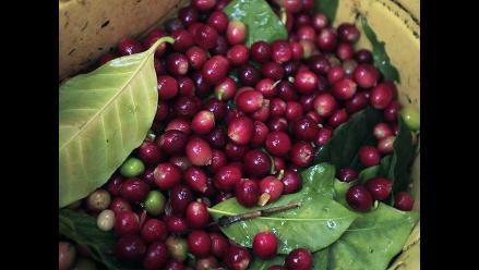 JNC: Producción de café crecería en un 40% en el 2015