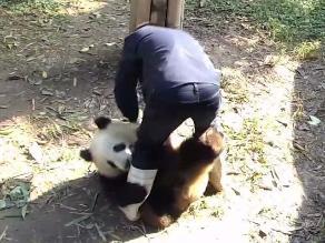 YouTube: Panda hace berrinche para que no lo dejen encerrado
