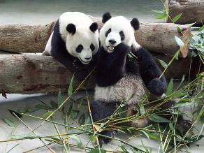 China: Epidemia de moquillo afecta a osos pandas