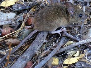 #Rotafono: denuncian plaga de ratas en mercado de Los Olivos