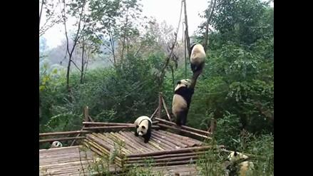 YouTube: un grupo de osos pandas se pelean por un árbol