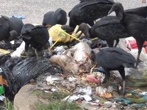 Yurimaguas: acumulación de basura genera presencia de gallinazos