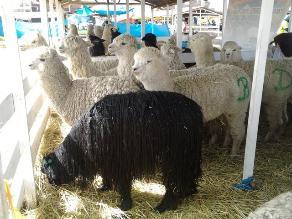 Puno tendrá primera planta de clasificación de fibra de alpaca