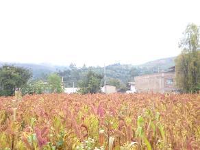 Perú es el primer productor y exportador de quinua del mundo