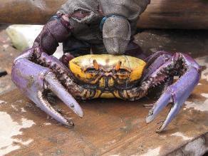Produce: Se inició la veda del cangrejo de manglar