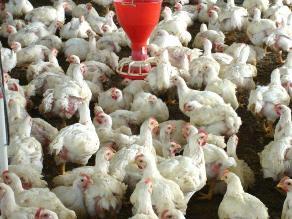 Arequipa: iniciarán vacunación contra enfermedad que afecta a aves