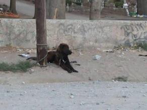 Chiclayo: can permanece atado a un poste desde hace varios días