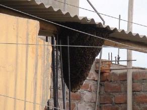 Trujillo: enorme panal de abejas causa pánico en vecinos