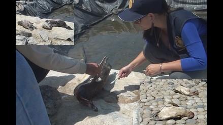 Arequipa: pingüino es utilizado para atraer a comensales en playa de Camaná