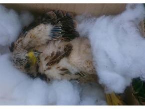 Hallan águilas bebés heridas en el Cercado