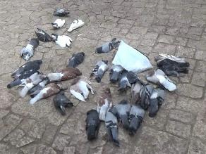Huancayo: más de 60 palomas envenenadas en alrededores de la Catedral