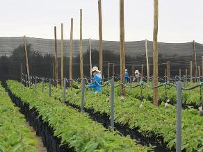 Chiclayo: siembran primeros plantones en tierras de Olmos