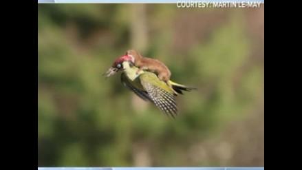 Captan a una comadreja bebé volando sobre un pájaro carpintero