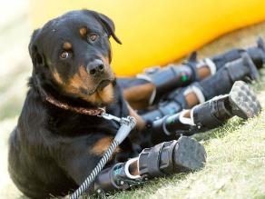 YouTube: Brutus, el perro que camina gracias a cuatro prótesis