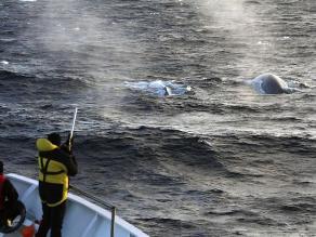 Japón inicia campaña de pesca de ballenas en el Pacífico norte