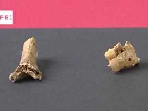 España: hallan una mandíbula y un húmero de un niño neandertal