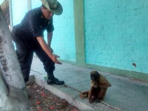 Anuncian sacrificio de mono que mordió a trabajador en Chiclayo