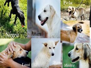Lambayeque: dan en adopción 8 canes que estuvieron en abandono