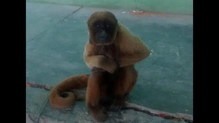 Chiclayo: Salud desiste de sacrificar a mono que mordió a trabajador