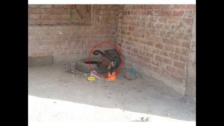 WhatsApp: denuncian que mono es atado y expuesto en vía pública Santa Anita