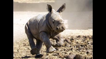 'Sudán', el último macho de rinoceronte blanco recibe máxima protección