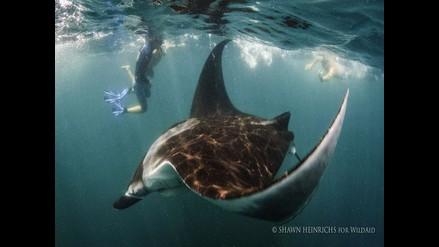 Mantarraya Birostris se encuentra en peligro de extinción