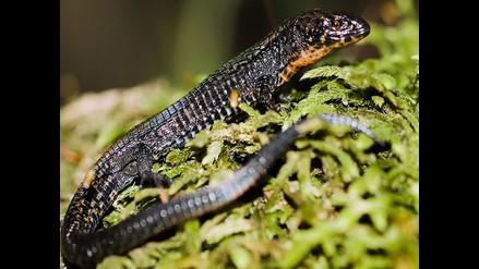 Cusco: registran nueva especie de lagartija en el Santuario de Machu Picchu