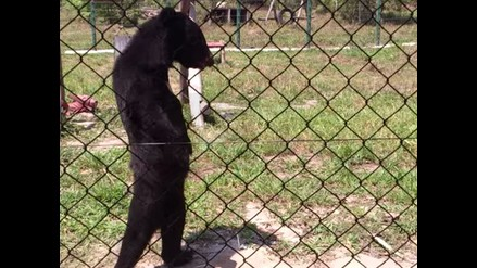 YouTube: oso negro aprende a caminar como un ser humano