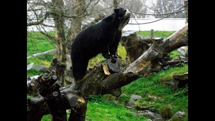 Puno: muere oso de anteojos que estaba en cautiverio en Sandia
