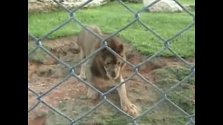 YouTube: león es liberado luego de 13 años en una jaula de circo