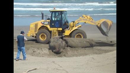 Chiclayo: entierran cachalote tras dos horas de ardua labor