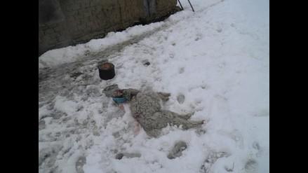 Arequipa: frío causó la muerte del 10% de alpacas en Caylloma
