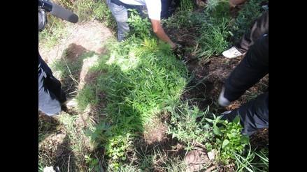 Lambayeque: destruyen 15 mil plantones de marihuana en Olmos
