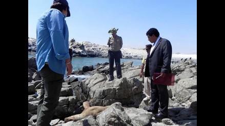 Fiscalía sentencia a pescador por matar a lobo marino en Ilo