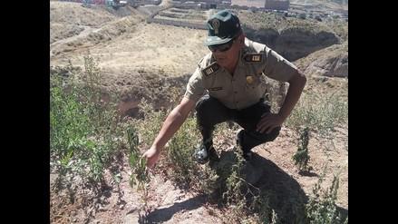 Arequipa: hallan plantones de marihuana en vía pública