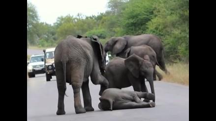 YouTube: elefantes socorren a cría que cayó por agotamiento