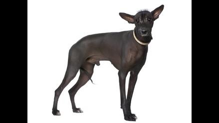 ¿El perro sin pelo del Perú tiene propiedades curativas?