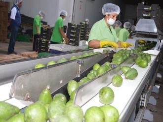 Chiclayo: exportaciones de palta crecieron en más del 200 %