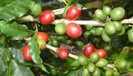 Lambayeque: exportaciones de café empiezan a recuperarse