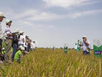 Más de 8 parcelas demostrativas de arroz se sembraron en Lambayeque